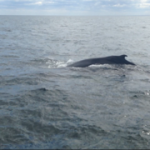 A whale we saw on the Providencetown whale watch tour.