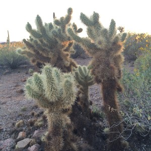 Teddy Bear Cholla, the most evil variety.